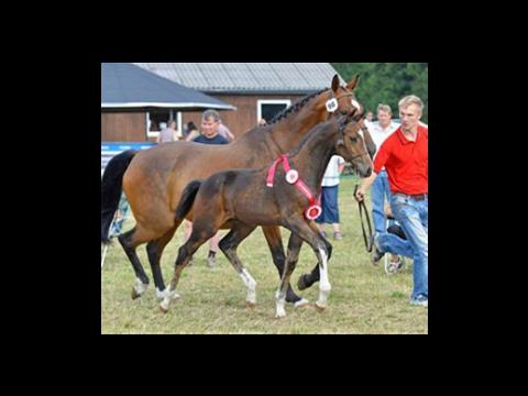 Warrant-son best jumping foal of Denmark 2013