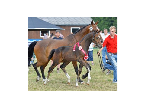 Warrant-son best jumping foal of Denmark 2013
